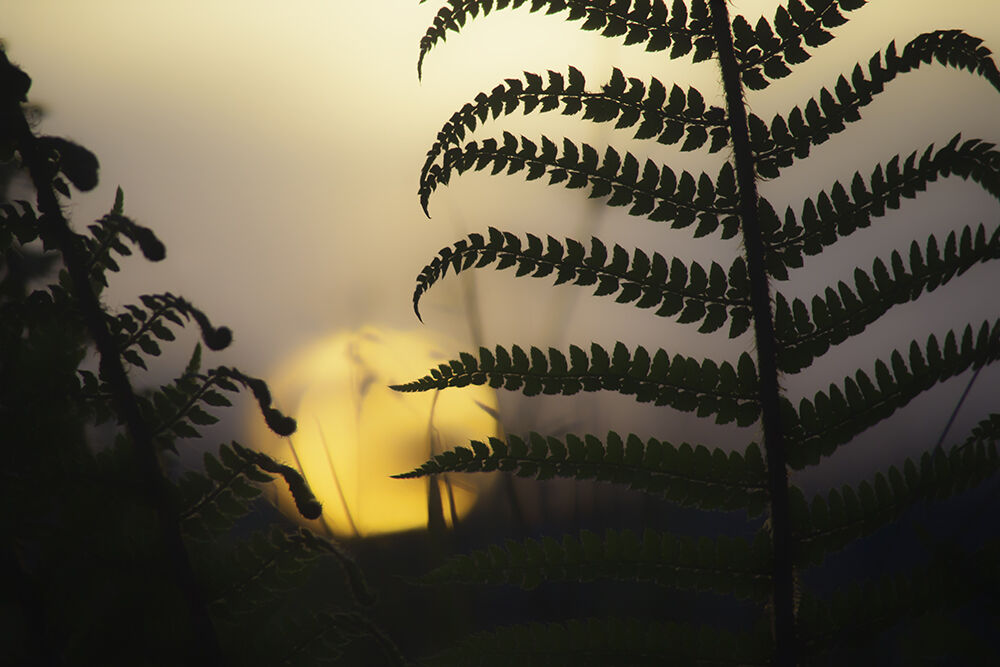 Ferns at Sunset