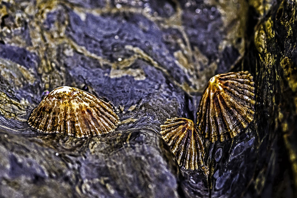 Limpet Family