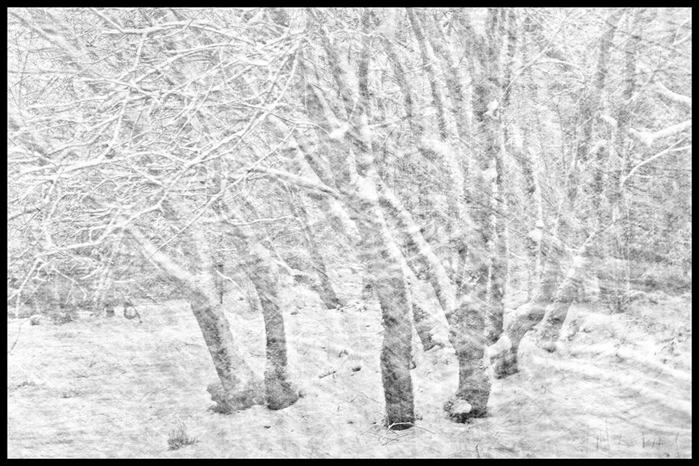 Trees in Snow I