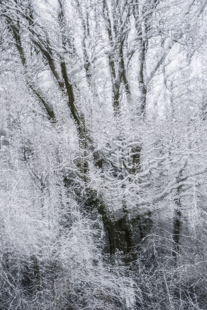 Trees in Snow V