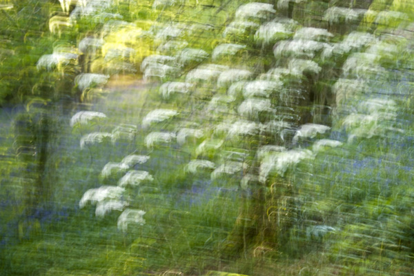 Wild Cherry Tree and Bluebells Abstract