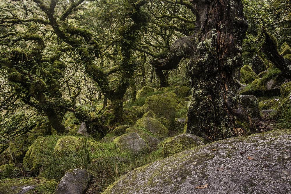 Wistman's Wood II