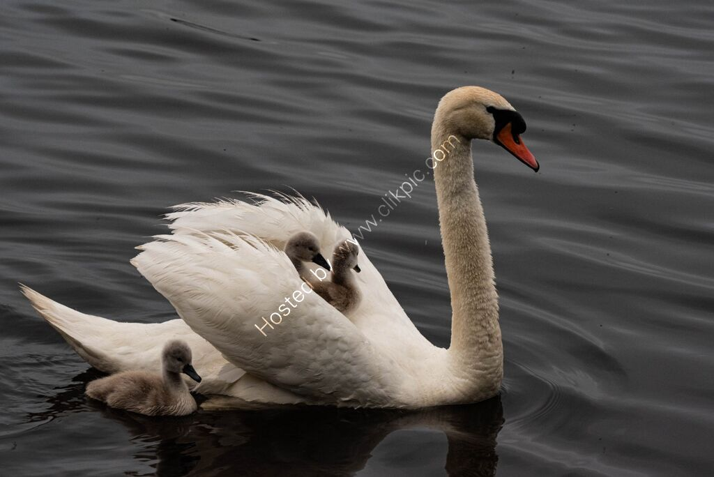 Mother carrying young on her back