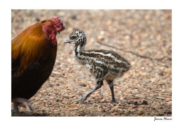 Emu-Chick