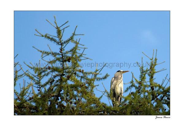 Grey Heron in tree