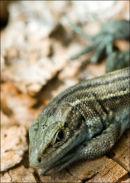 Lizard-2-DSC 3128