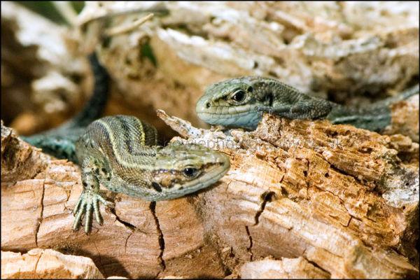 Lizard-3-DSC 3150