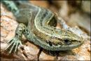 Lizard-4-DSC 3155
