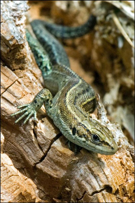 Lizard-5-DSC 3156