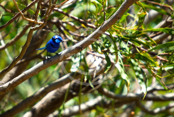 Splendid-Fairy-Wren