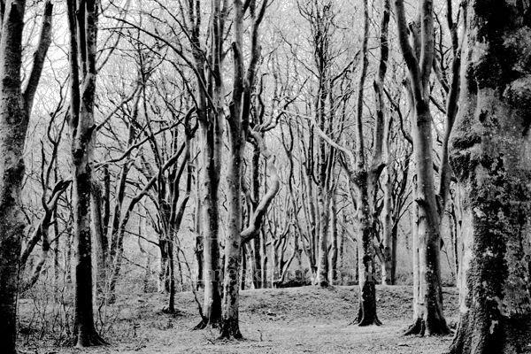 The Woods, Boconnoc