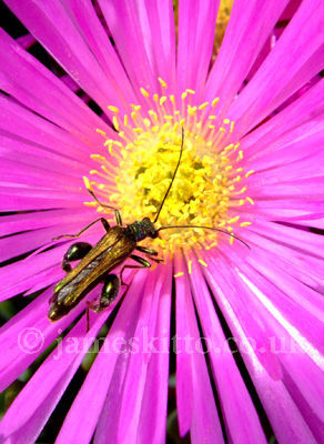 Summer Beetle