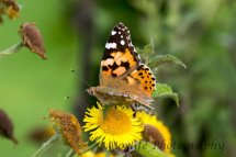 100- Painted Lady