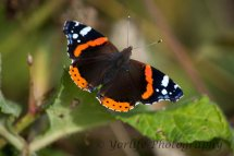 102-Red Admiral