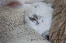 103 Blue faced Leichester Lambs