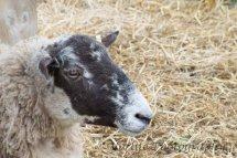 104 Blue Faced Leichester Ewe Sheep