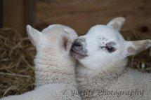 105 Blue Faced Leichester Lambs
