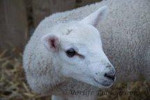 107 Blue Faced Leichester Lamb