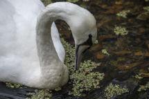 17 Mute Swan