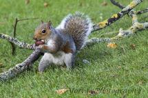 19 Grey Squirrel