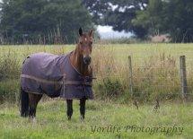 Brown Horse in Coat