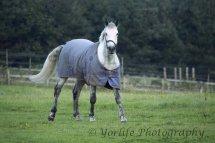 White Horse in Coat