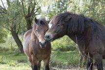 Exmoor Ponies -2