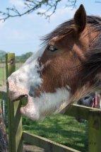 Horse having a Yawn