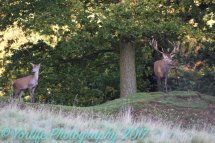 Red Deer Hind & Stag