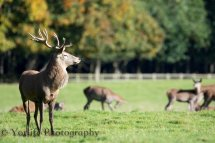 Red Deer hind, Calve & Stag