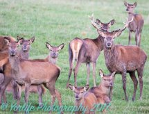Red Deer Hinds & Calves