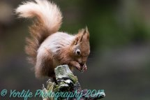 Red Squirrel 21