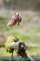Red Squirrel 8