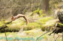 Red Squirrel 10