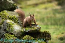 Red Squirrel 13