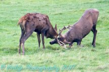 Red Deer Young Bucks