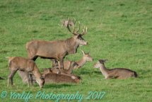 Red Deer Doe & Stag