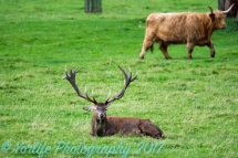 Red Deer Stag & Highland Cow