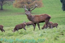 Red Deer Hinds & Stag