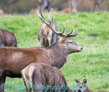 Red Deer Stag & Hind
