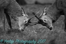 Red Deer Young Stags