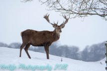 Read Deer Stag