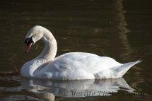 203-Mute Swan