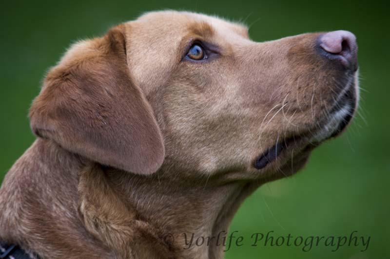 204-Labrador