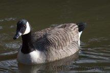 206-Canada Goose