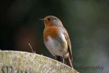 207-Robin