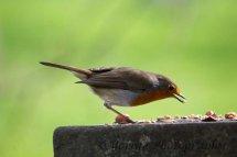 208-Robin