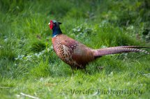 209-Pheasant  Male