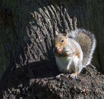 20-Grey Squirrel