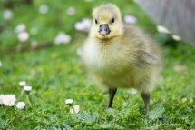 230-Gosling-Greylag Goose